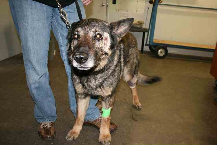 Canine officer Var recovering from gunshot wounds