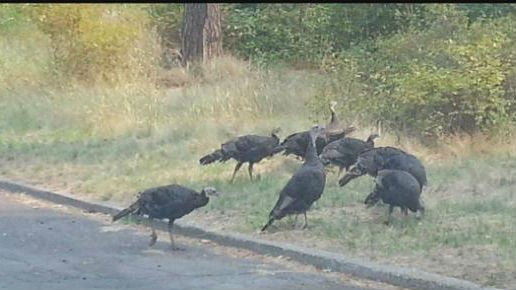Right now it's wild turkey mating season and there is an abundance of them south of town