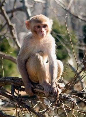 A rhesus macaque monkey