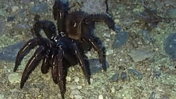 Pest control experts believe the woman saw trapdoor spiders