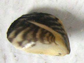 Quagga and zebra mussels can clog agricultural irrigation pipes, impact power generation, encrust native species and disrupt the food web