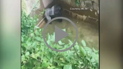 Video from the moments after a 4-year-old boy fell into a gorilla exhibit at the Cincinnati Zoo shows one of the gorillas standing over the boy in a shallow moat. Photo/Video: NBC