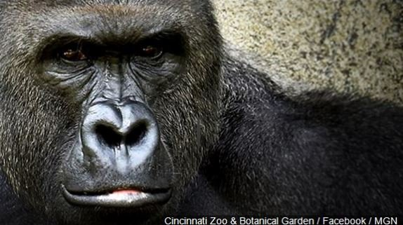 A prosecutor's office says police are investigating the circumstances surrounding a 4-year-old boy entering a gorilla's exhibit at the Cincinnati Zoo and the animal being shot to death to protect the child.