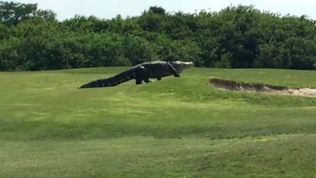 A giant alligator is getting worldwide attention after golfers took a video of it strolling across a Florida course. Photo: NBC