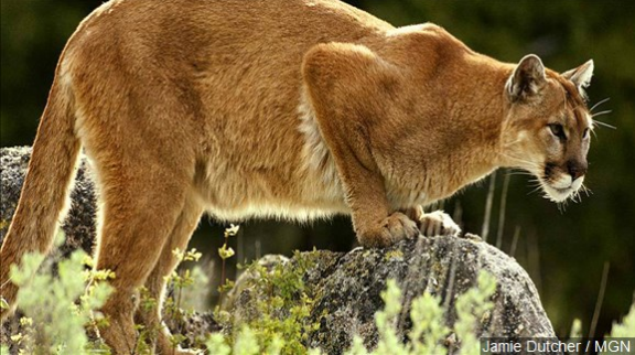 (Note: This is not the mountain lion responsible for the attack.)