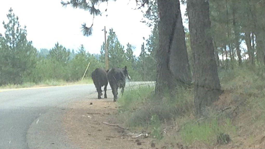Cows on a caper