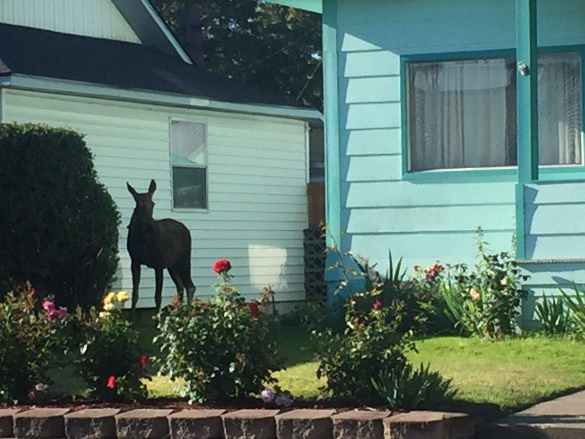 update injured moose to be euthanized spokane north idaho news