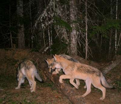 Remote camera images of wolf pups in Pend Oreille County (Photo: WDFW)