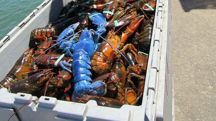 The rare blue lobster (PHOTO: Jan Nickerson/Facebook)