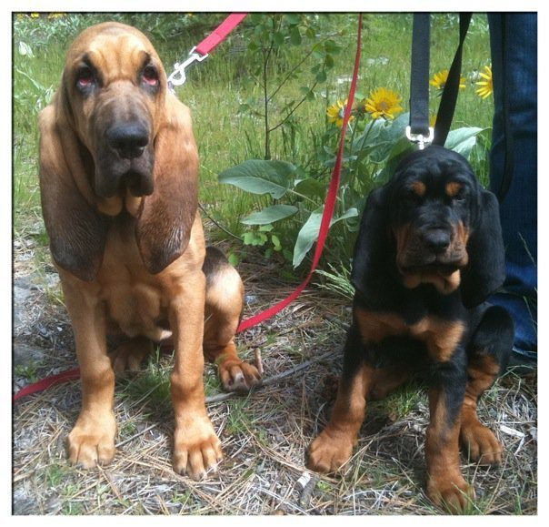 Spokane Bloodhounds Daisy and Indie Anna