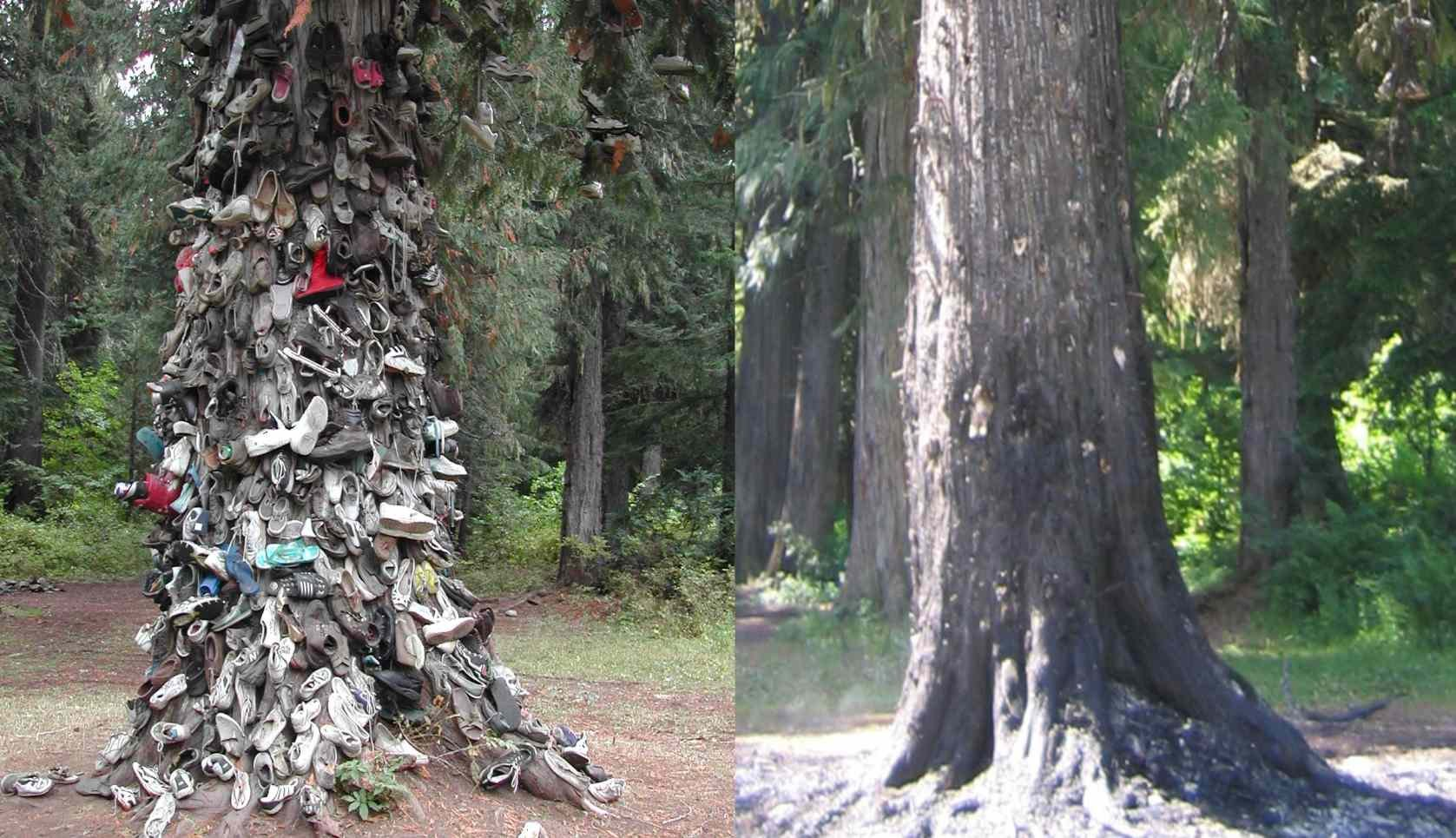 Famous Priest Lake Quot Shoe Tree Quot Destroyed By Fire Spokane