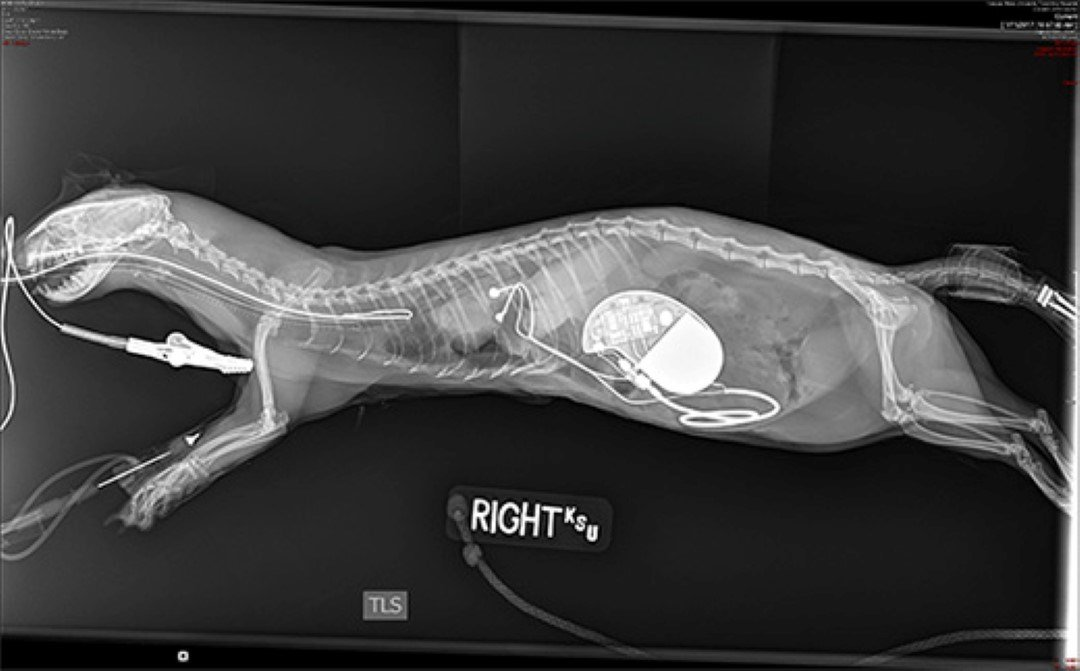 The radiograph reveals the implantation of the pacemaker in the abdomen, where it will help Zelda maintain her heart beat at a normal rhythm for ferrets. (PHOTO: KSU)