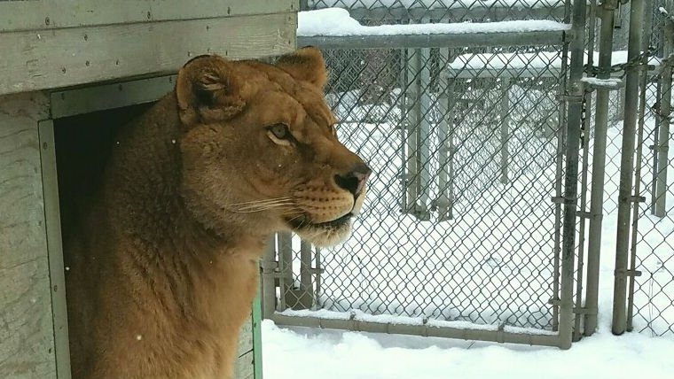 Nala the Lion checks out the snow.