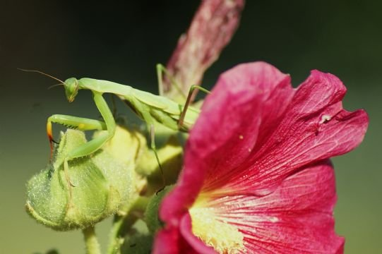 (Photo uploaded to KHQ.com of a Preying Mantis from Gail in Grangeville)