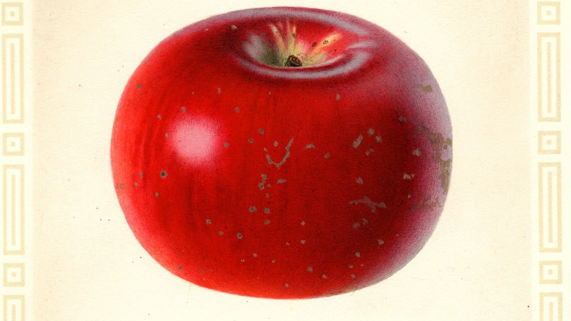 Artist Charles Steadman captured the Nero apple in this 1925 watercolor, now part of the U.S. Department of Agriculture's Pomological Watercolor Collection. (Special Collections, National Agricultural Library, WSU)