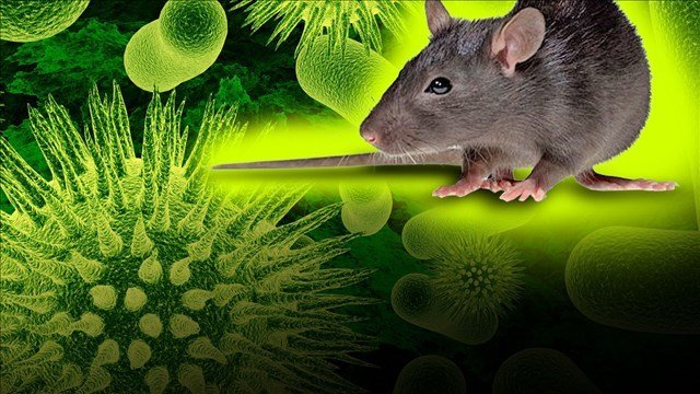 The greatest risk for exposure occurs when people enter enclosed areas with mice infestation and poor air circulation.