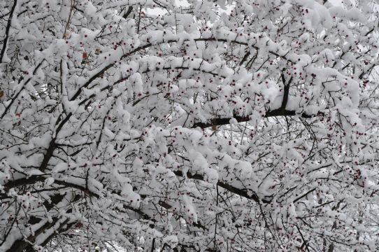 "(Mark from Spokane uploaded this picture to our KHQ.com weather page...he calls it ""snow berries"")"