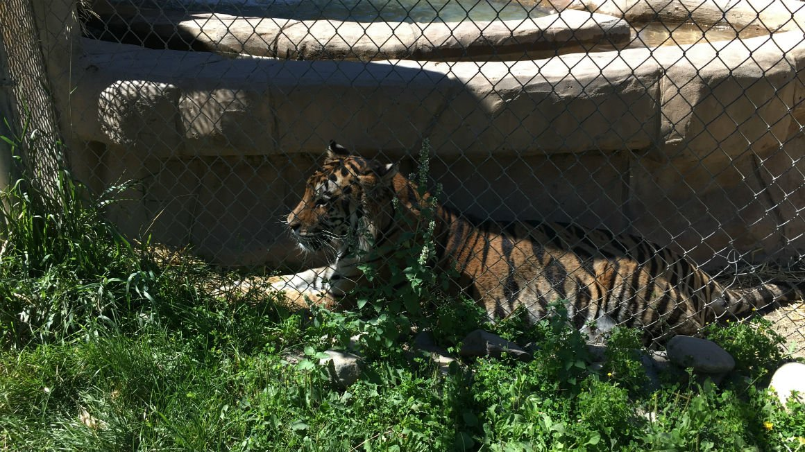Will Cat Tales big cats behavior be affected by solar eclipse?