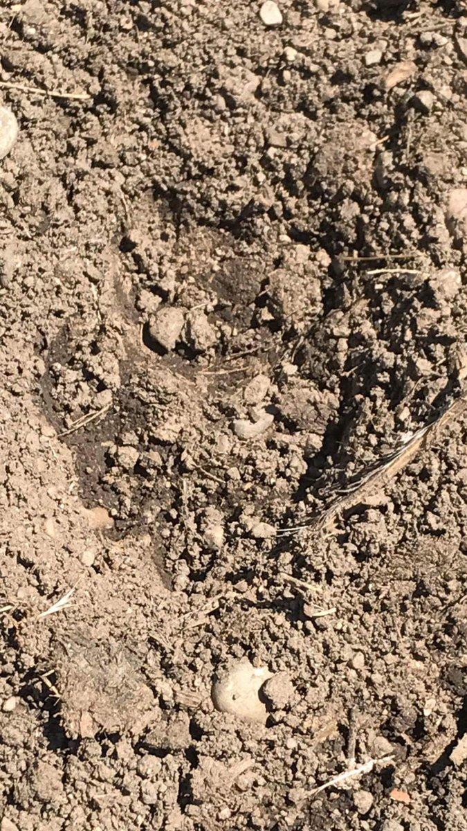 Cougar print found near 13th and Adams