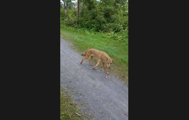 Authorities say a woman has suffered serious injuries after she was attacked by a coyote while walking on a trail in a rural upstate New York town. (stock photo)