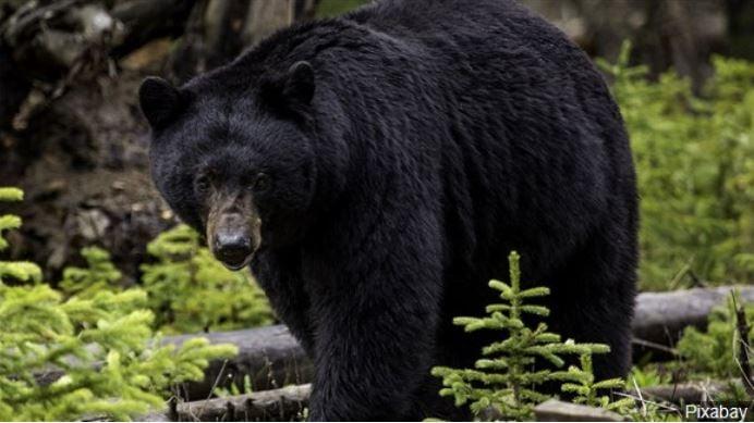 File photo: Black bear, Photo Date: 5/16/2015