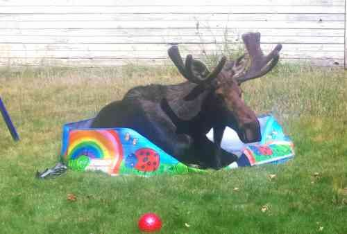 """CJ from Post Falls sent this picture into pix@khq.com! She says: """"We found this moose in my children's kiddie pool!"""""""