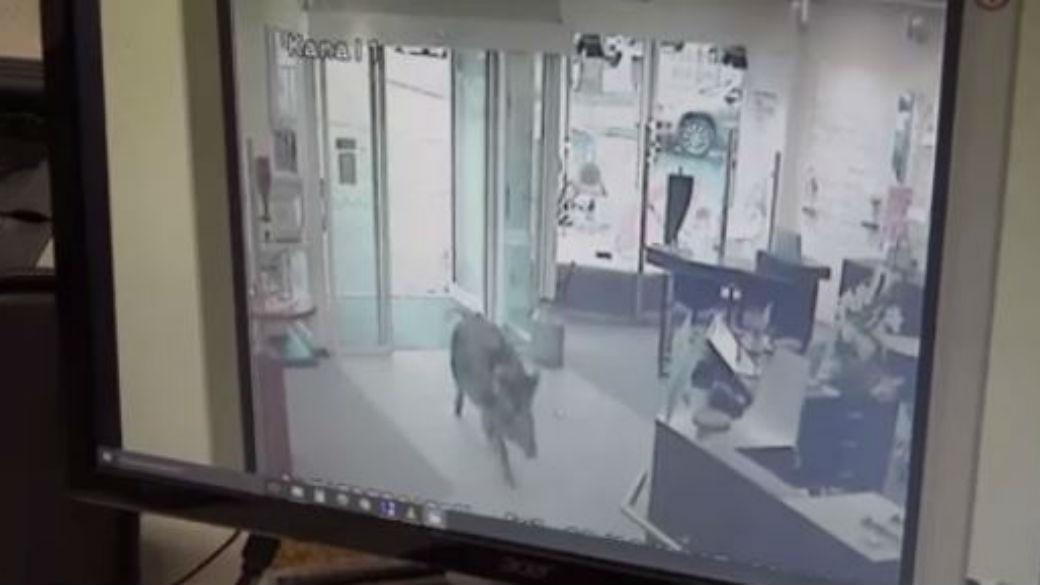 Wild boars rampage through German town, injure at least 4