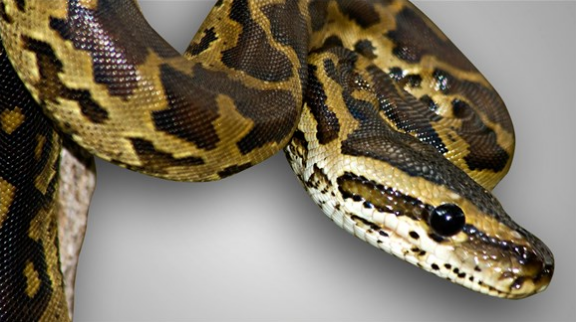 NOT the actual python found in the man's pants