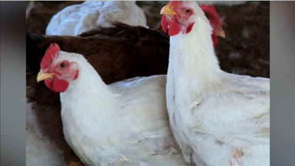 File Photo. These are not the chickens found in the courtroom. They still have their heads.