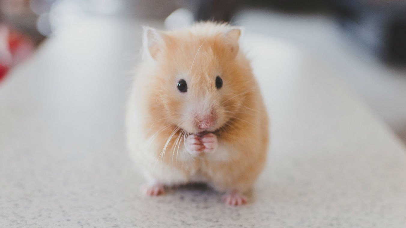 (this is not Pebbles the hamster) Stock image from Ricky Kharawala @rk2productions