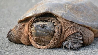 stock image of snapping turtle