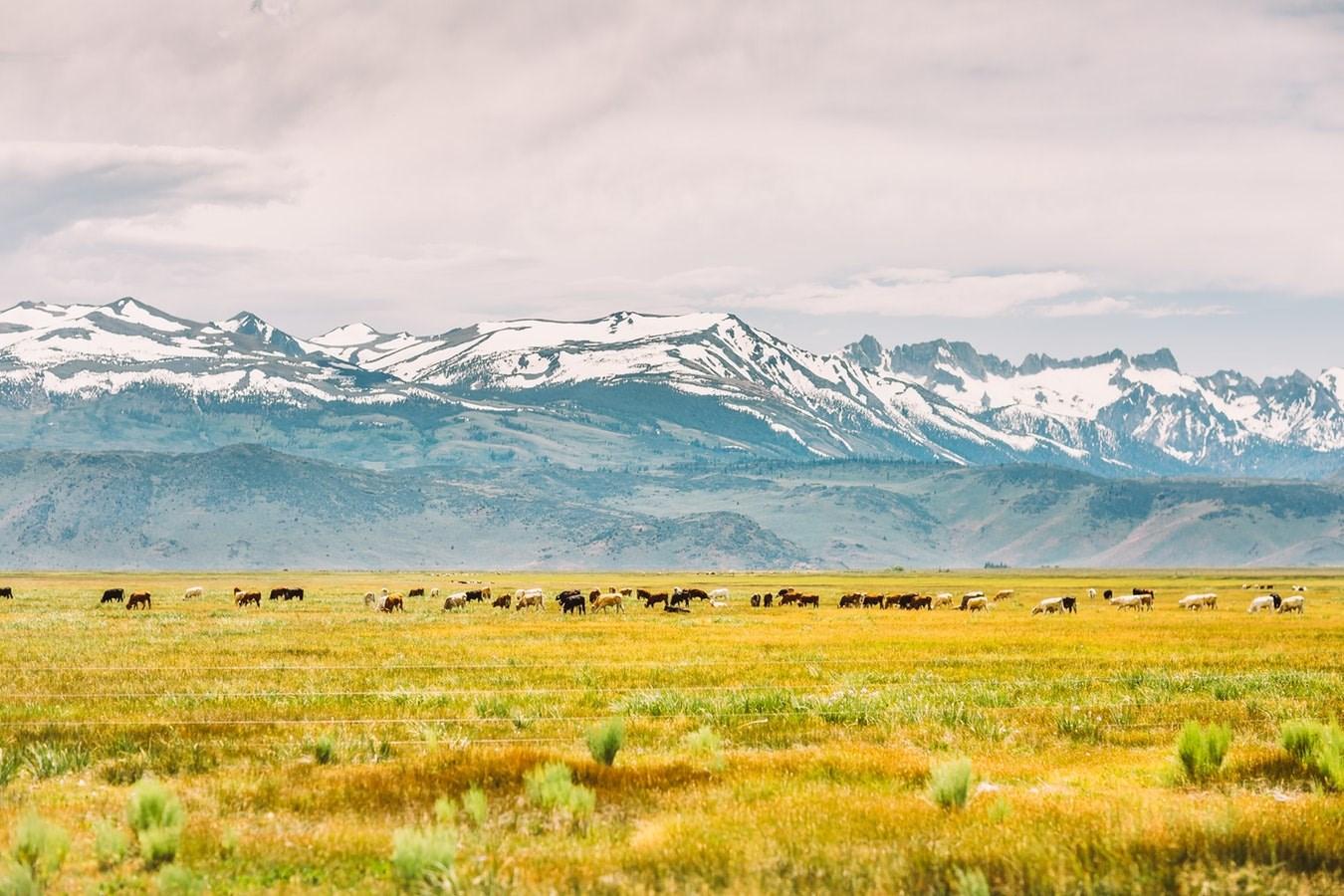 Stock image of cattle in field, Saksham Gangwar @saksham