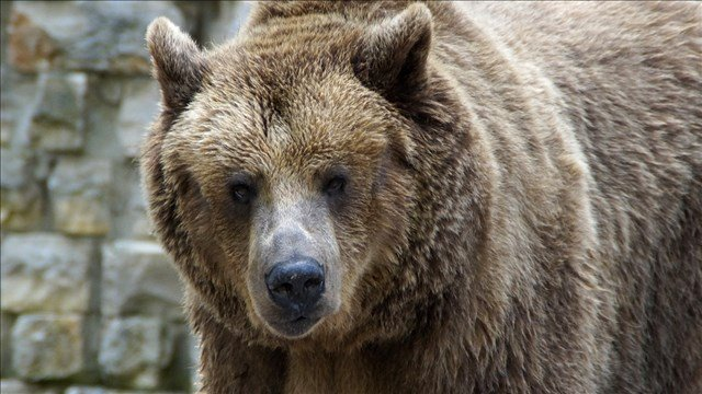 US to seek end to protections for Montana bears this fall