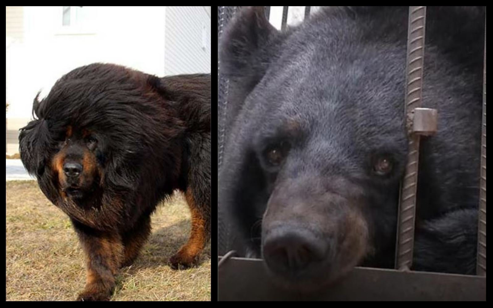 The couple thought they were purchasing a Tibetan Mastiff, like the dog on the left, but what they actually ended up raising for two years was a black bear, pictured on the right.