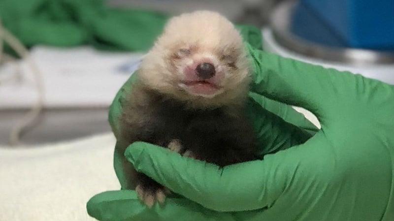 California zoo vets raising neglected baby red panda - Spokane ...