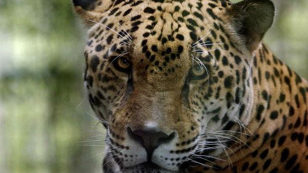 Jaguar escapes habitat...