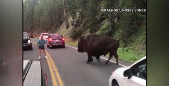 Oregon man arrested after video shows bison taunted at Yellowstone National Park