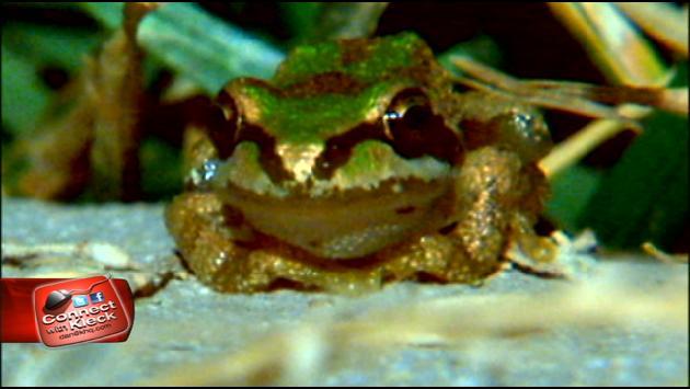 Little frogs like these croak the loudest at night in Spokane's 5 Mile neighborhood. (Photo: KHQ)