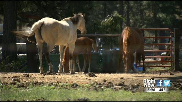 The ASPCA and SCRAPS say the horses seized from a property owned by Jan Hickerson on November 15th have made incredible progress