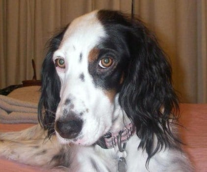 A homeowner's English Setter, Abby, ran away during the confrontation with the suspect. If you see her, please call 456-2233