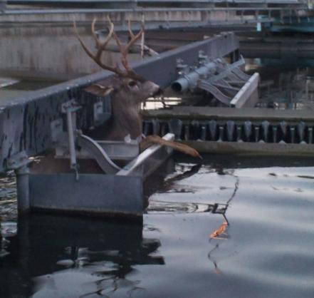 Nick Knapp, using a rope and a loader, freed this deer from a wastewater pond west of Spokane.