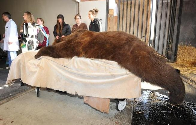 Lucy, a 3-year-old Grizzly, undergoes MRI at WSU