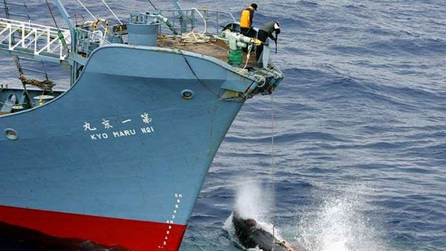 The International Court of Justice in The Hague, Netherlands is ordering a halt to Japan's Antarctic whaling program.