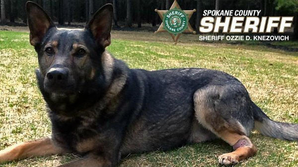 Spokane County Sheriff's Office K9 Laslo is still recovering after being attacked on April 7th by a pit bull while he and his partner Deputy Jeff Thurman where investigating a report of a burglary and assault.