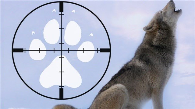The state Fish and Wildlife Department has authorized a rancher to shoot wolves that approach his flock of sheep in Stevens County in northeast Washington.