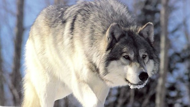 Five conservation groups on Wednesday filed a lawsuit in Idaho seeking to stop a federal agency from killing wolves in the state until a new environmental analysis is prepared.