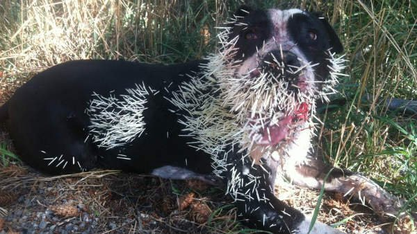Rebel the dog got a little too close to a porcupine in Post Falls. Rebel's owner said he is doing.