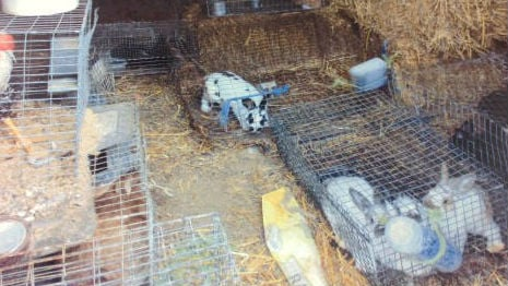 SCRAPS officials seized 64 rabbits, 72 chickens, 2 turkeys, 4 goats, 3 pigs and 3 dogs.