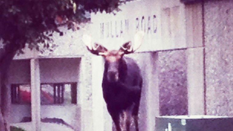 A moose visited Mullan Road Elementary on Monday. (PHOTOS courtesy of Principal Michael McGinnis)