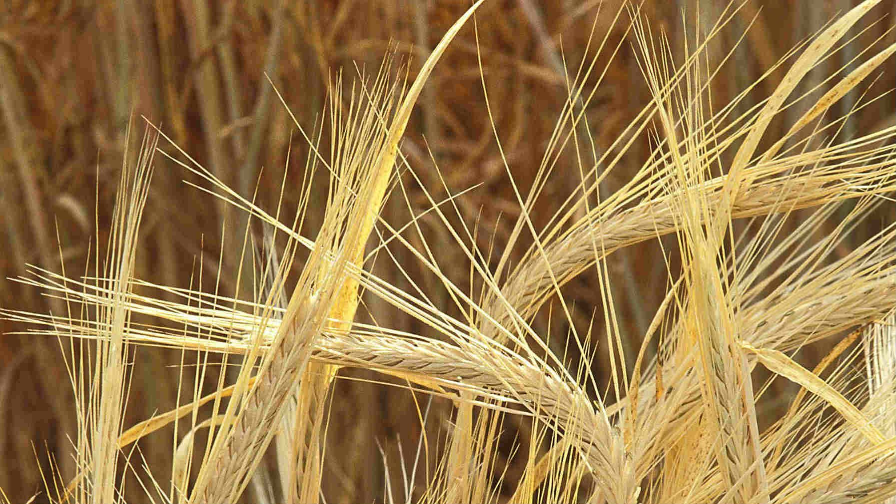 Barley Crop Damage in Idaho